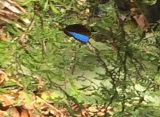 A morpho butterfly in the Parque Metropolitano in colorful Panama