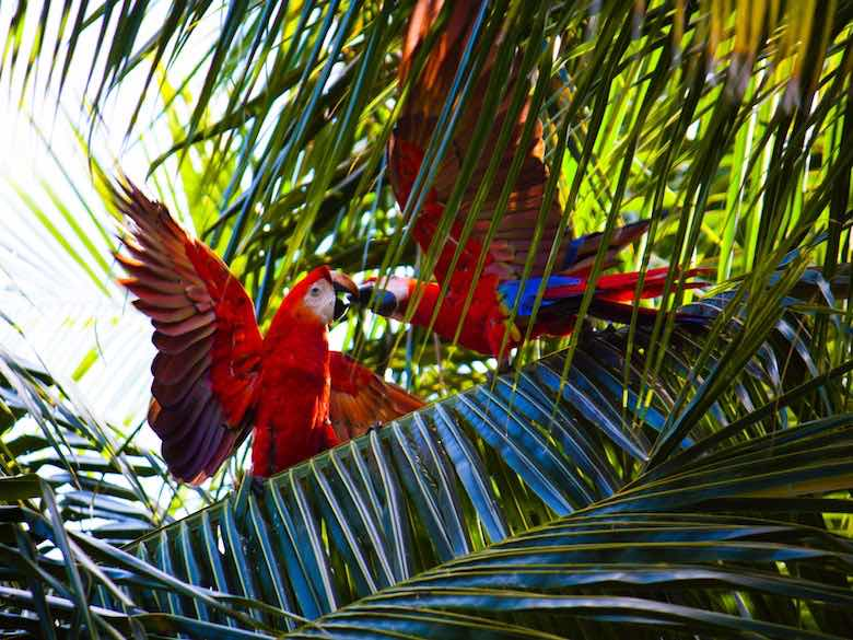 Two red and blue parrots in the palms