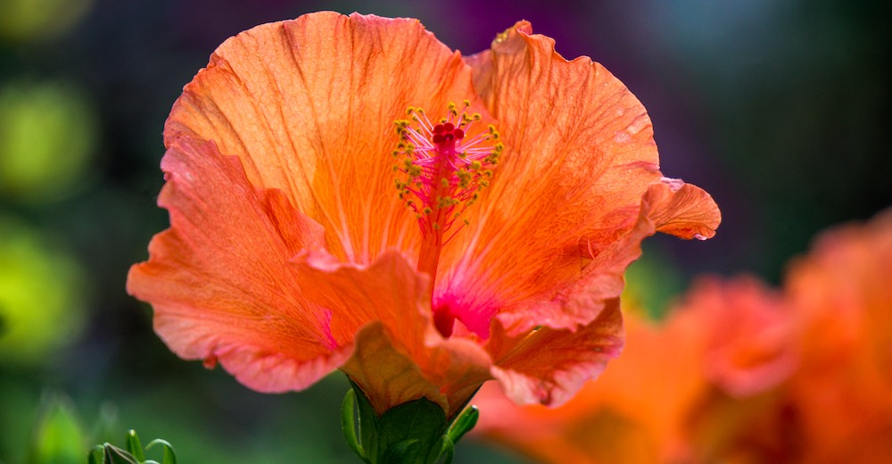 A hibiscus flower at the Garden of Eden Arboretum, one of the first Road to Hana stops