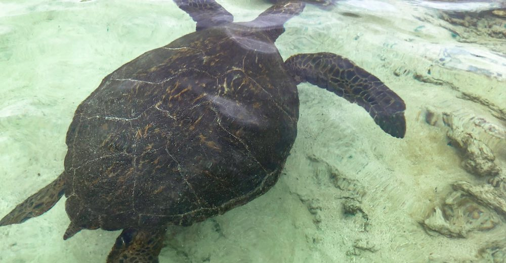 Turtle or honu swimming in the shallow waters at Carlsmith Beach Park in Hilo Hawaii