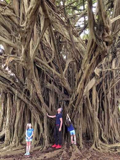 One of our favorite things to do in Hilo Hawaii is climbing the giant banyan trees at Rainbow falls