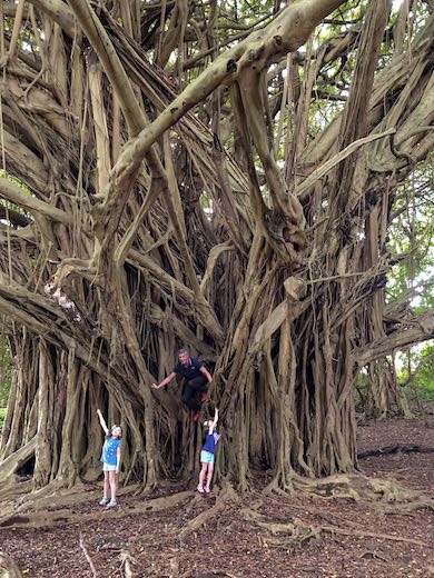 Climbing the giant banyan trees at Rainbow falls is one of our favorite things to do in Hilo Hawaii