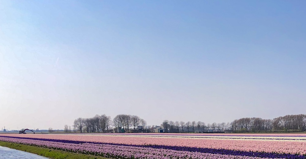 Fields of flowers in the Kop of Holland