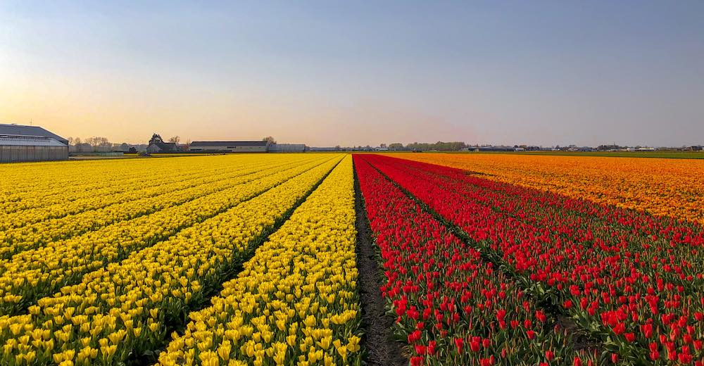 Orange, red and yellow tulip fields in the Netherlands near Keukenhof gardens