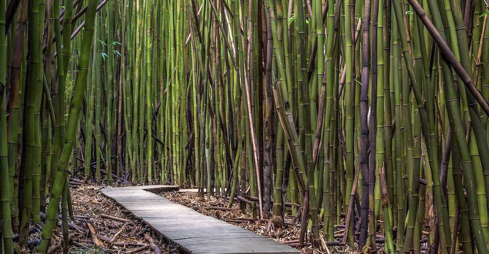 Discover the bamboo forest Maui one of the highlights along the along the Pipiwai Trail Maui, one of the best hiking trails in Maui