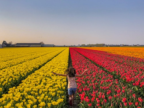 Little girl running through a tulip field in The Netherlands