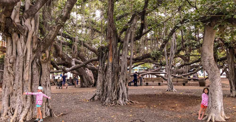One of the most mesmerizing facts about Hawaii is that you can find this giant banyan tree in Lahaina on Maui