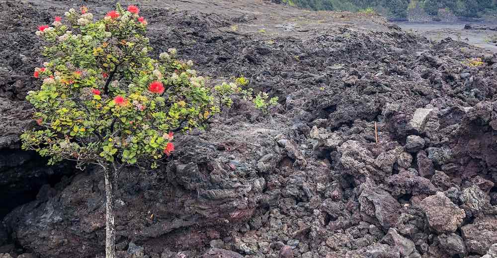 Blossoming ohia tree in the Kilauea Iki crater illustrates one of the surprising Hawaii facts that there is life on the surface of the crater lake