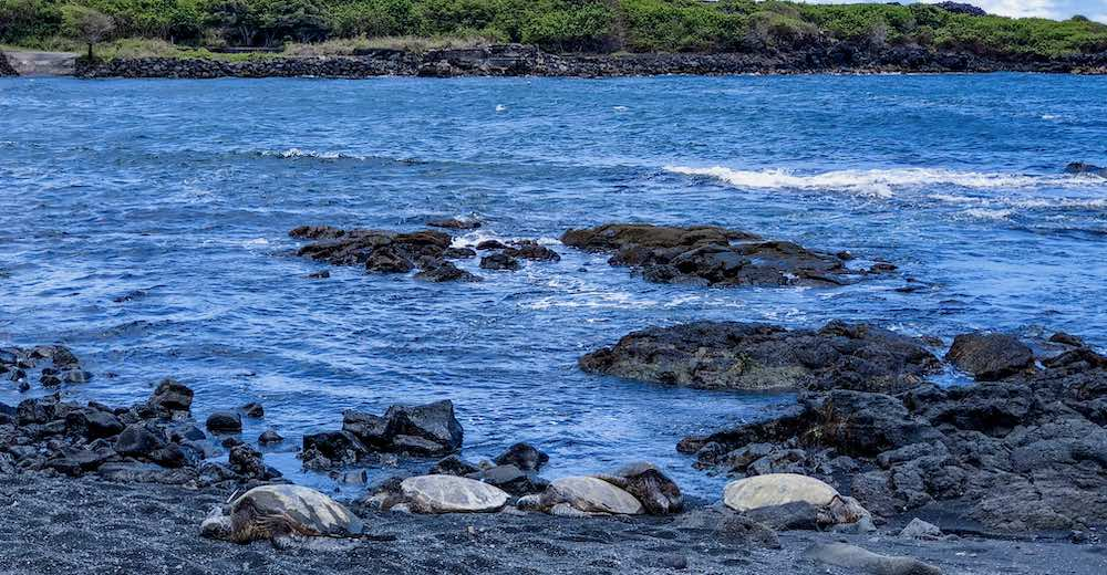 Turtles basking in the sun on one of the Big Island beaches