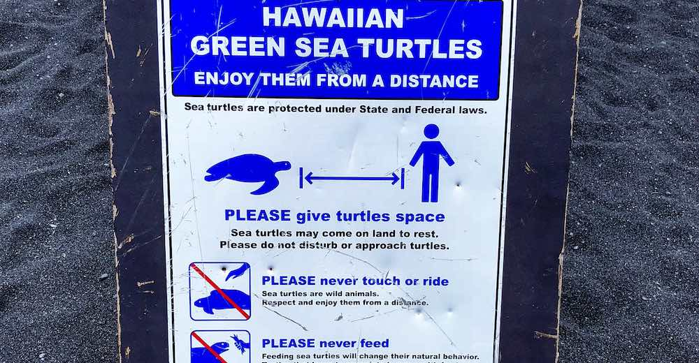 One of the most important Hawaii facts to remember is that the green sea turtles are a protected species