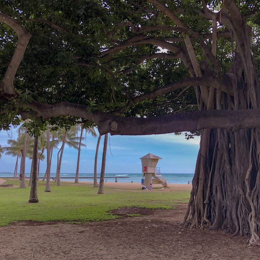 Bayan tree in Hawaii's capital Honolulu, at Waikiki beach