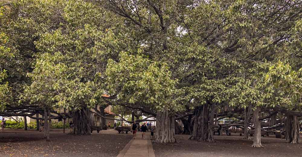 Banyan tree on Maui, in the town of Lahaina