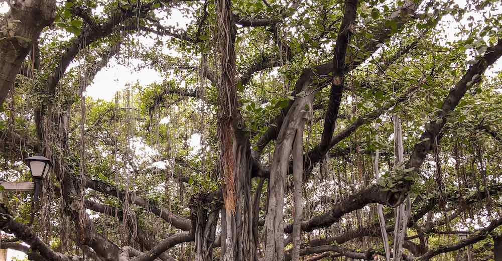Banyan tree in Maui's historic town of Lahaina