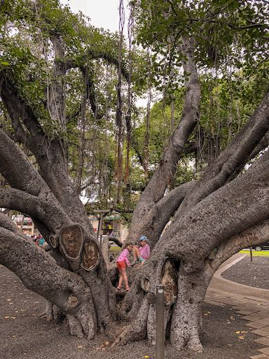 Two girls climbing the trunk of the Lahaina banyan tree on Maui