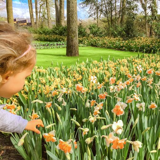Little girl tempted to pick a daffodil at Keukenhof tulip park in Holland
