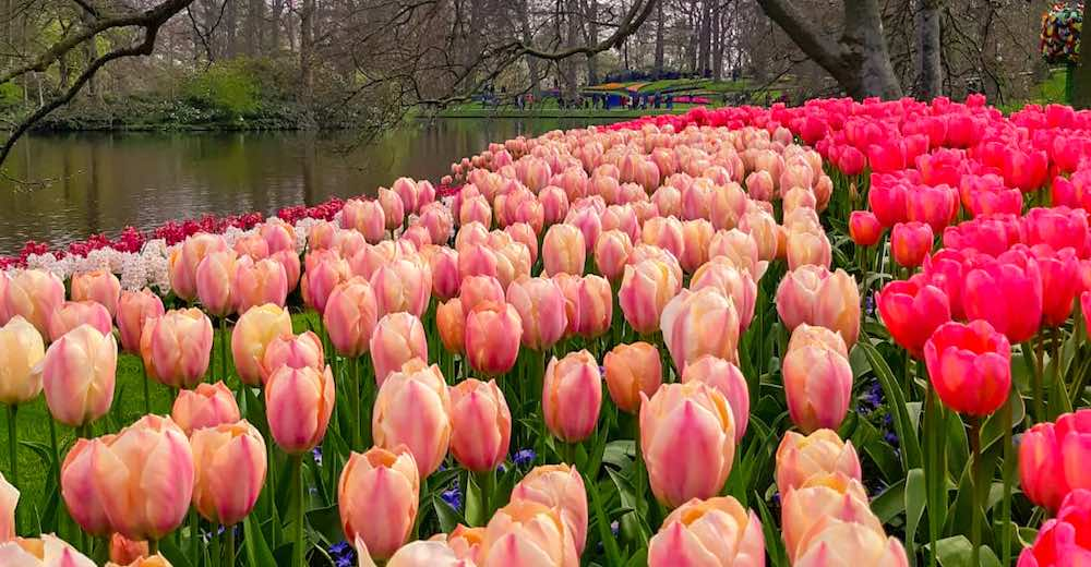 Tulips with pink hues can be admired via an individual visit or by joining one of the organized Keukenhof tours
