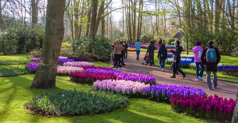 Purple flowers in the manicured Keukenhof tulip garden in Holland