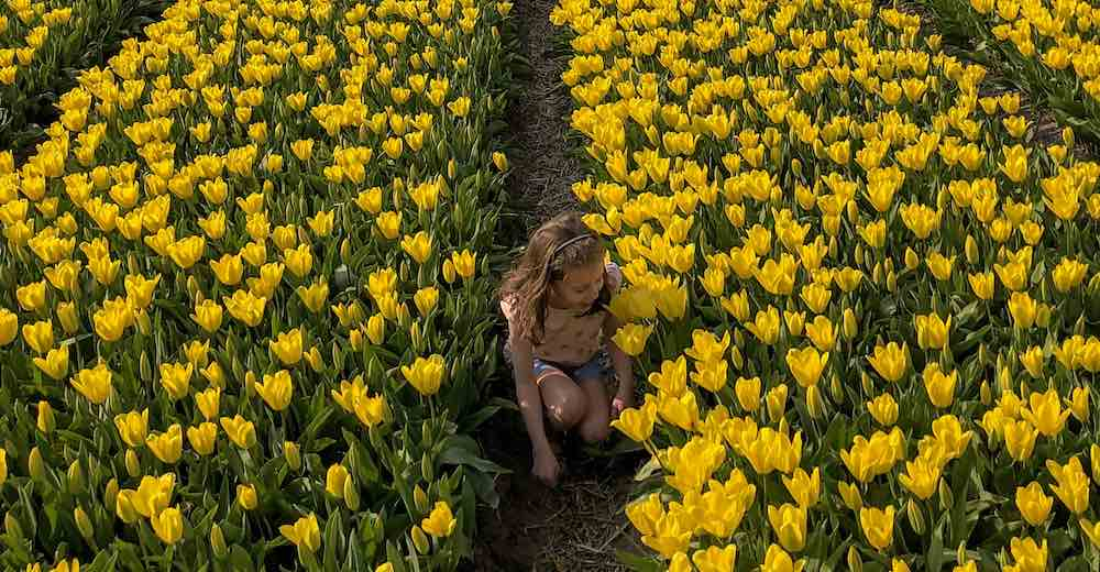 Little girl amidst one of the tulip fields Netherlands during Amsterdam tulip season