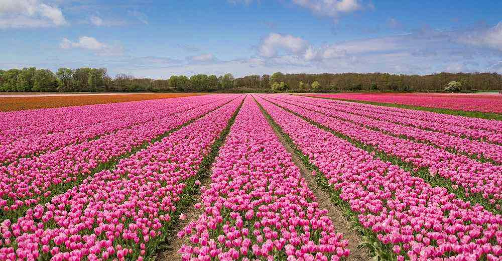 Fields of tulips near Amsterdam