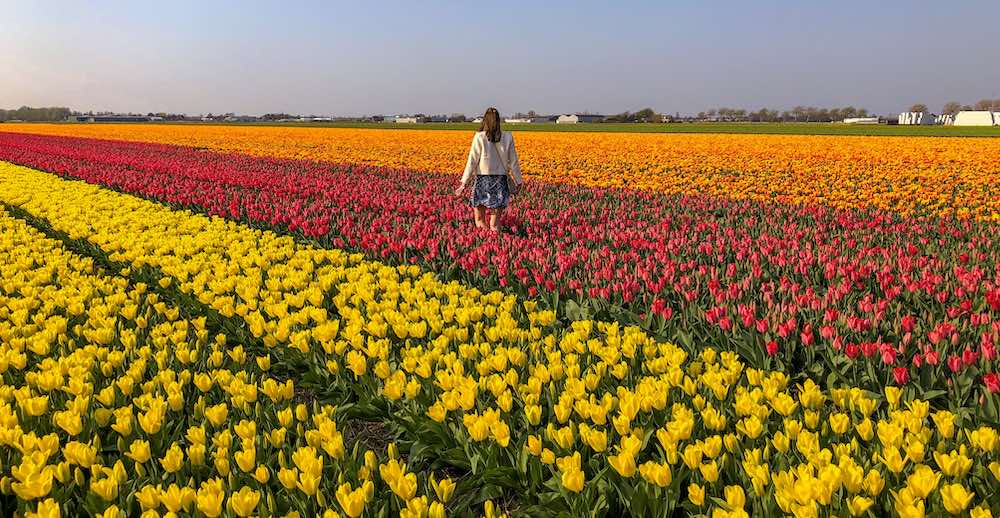 Plenty of tulip fields to explore near the Garden of Europe and you don't need Keukenhof Amsterdam tickets to admire them