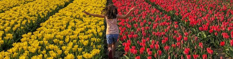 Where to see tulip fields in the Netherlands in 2021