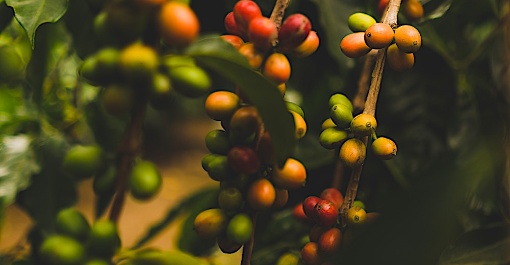 Coffee beans in Hawaii, visiting a coffee plantation is a must-do activity on Big Island Hawaii
