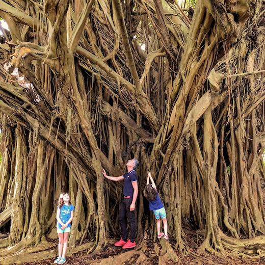 One of the lesser-known things to do on Big Island is climbing the banyan behind Rainbow Falls