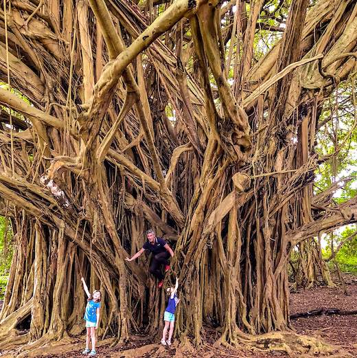 Climbing the banyan in Wailuku River State Park