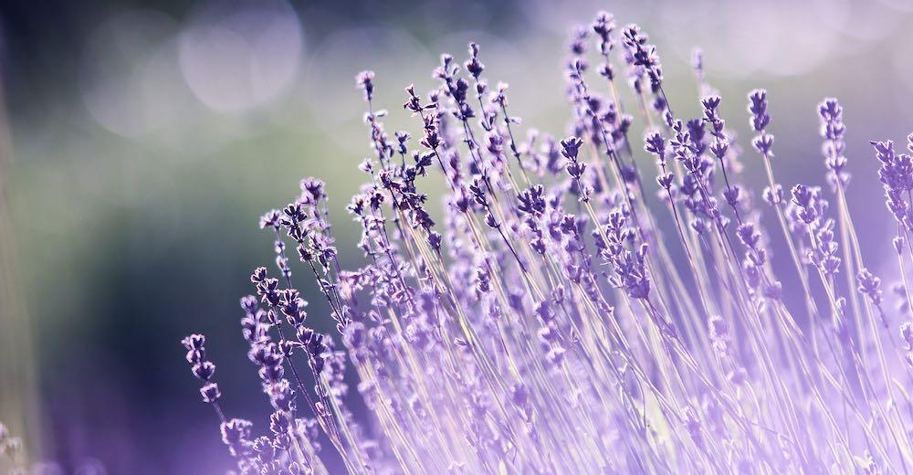 Lavender field in Maui