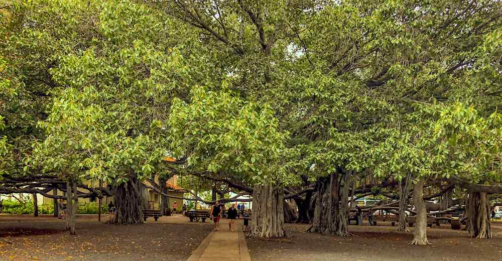Visiting Banyan Tree Park is one of the top things to do in Lahaina and you'll find some of the best places to eat in Maui nearby