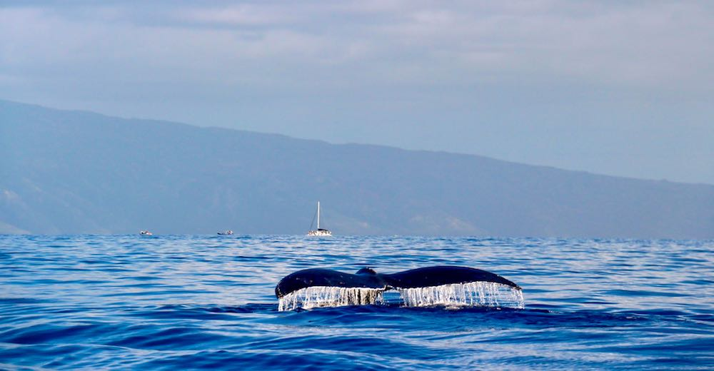 Whale watching from Lahaina in Maui Hawaii