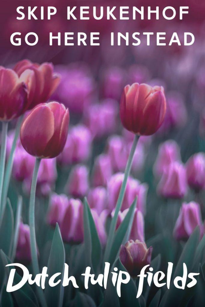 Field of tulips in purple hues