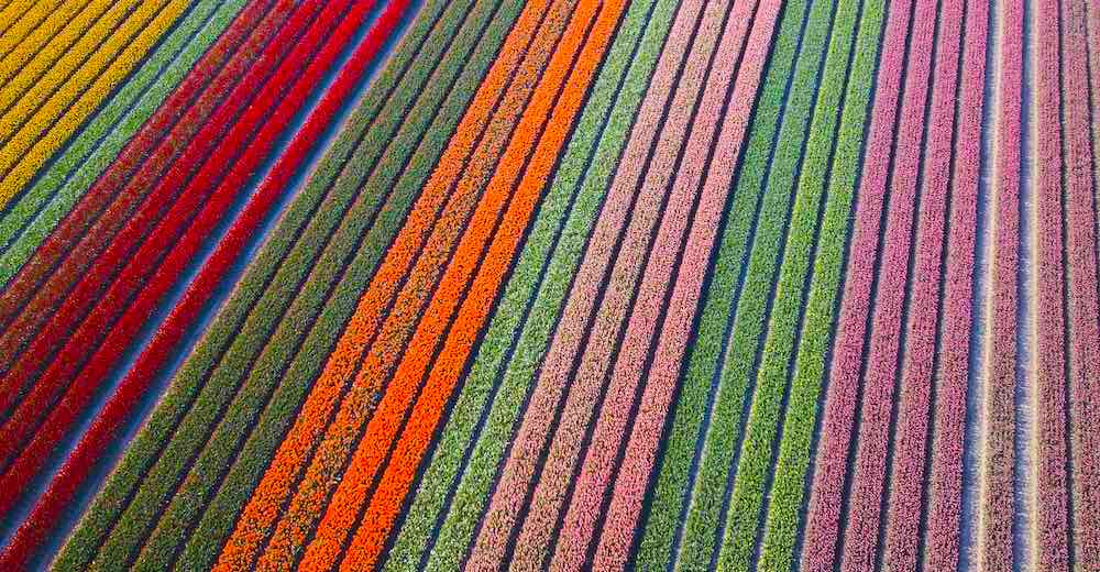 The world-renowned tulip fields of Netherlands