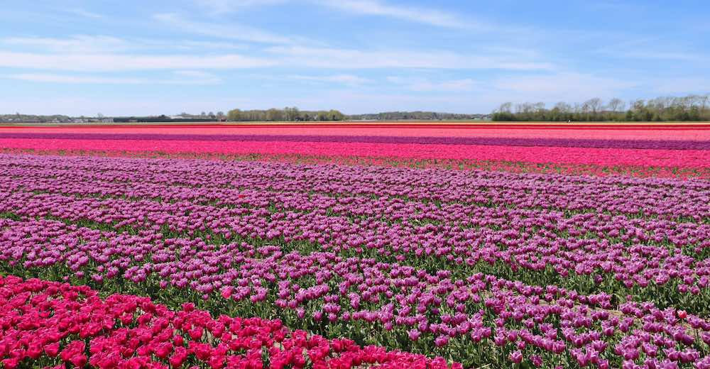 Pink tulip fields in The Netherlands