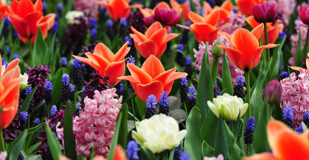 Netherlands tulips blooming in harmony with hyacinths