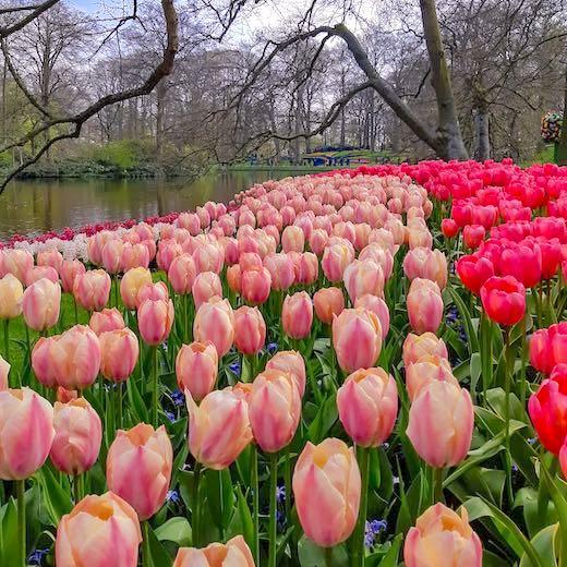 Keukenhof tulips garden in Amsterdam
