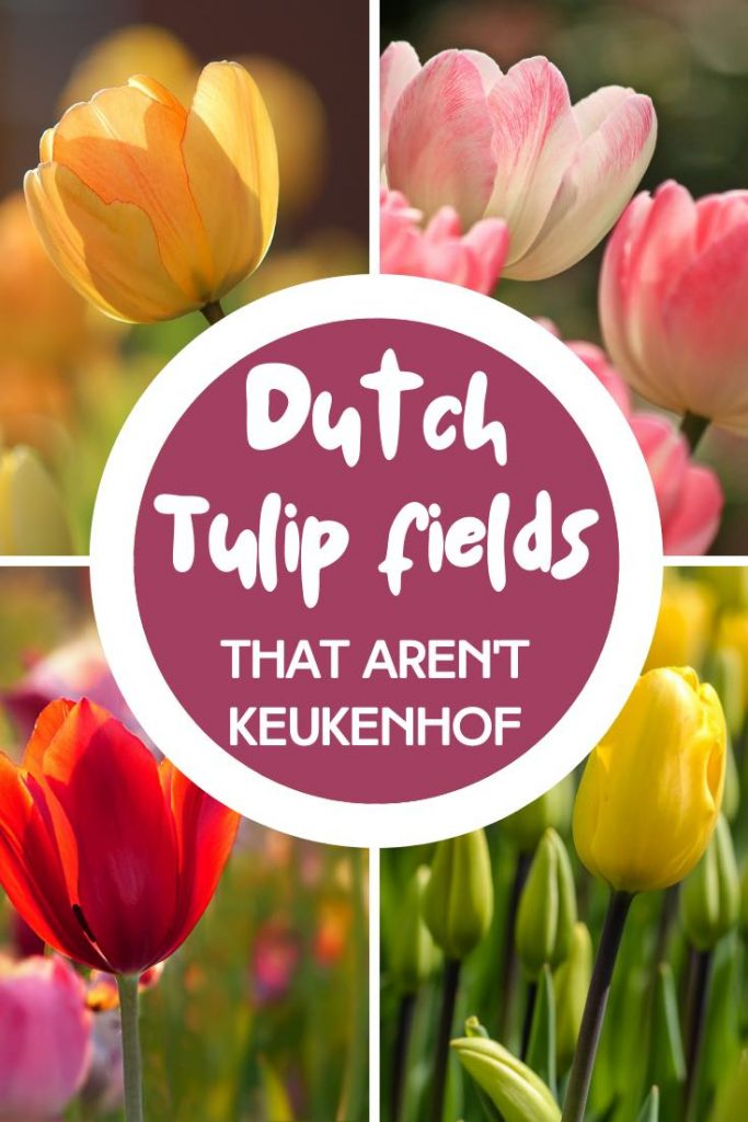 Close-ups of yellow, pink and red tulips in The Netherlands