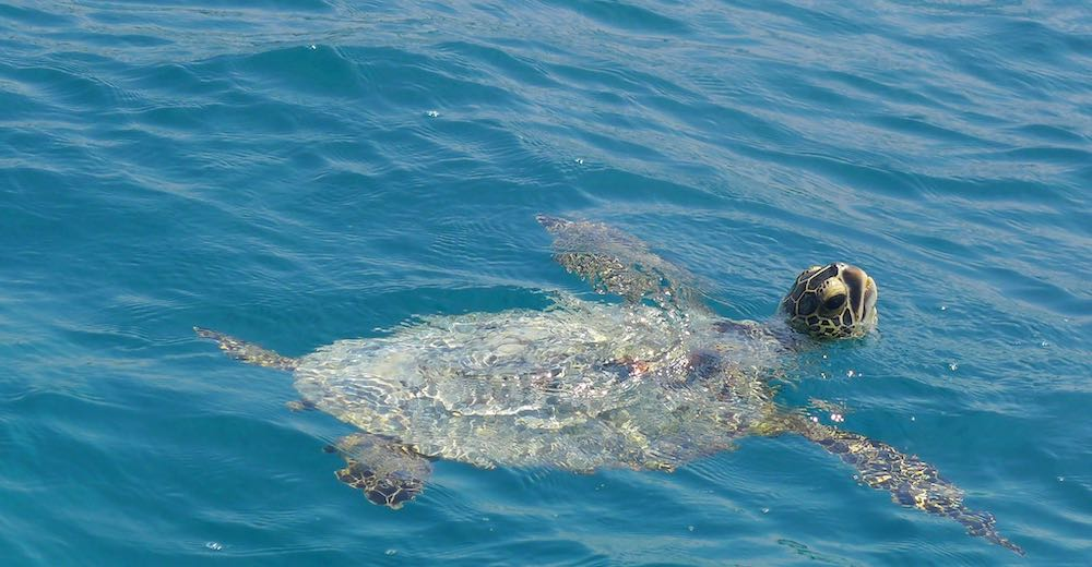 Honu spotted during Turtle Town snorkeling adventure aboard Calypso