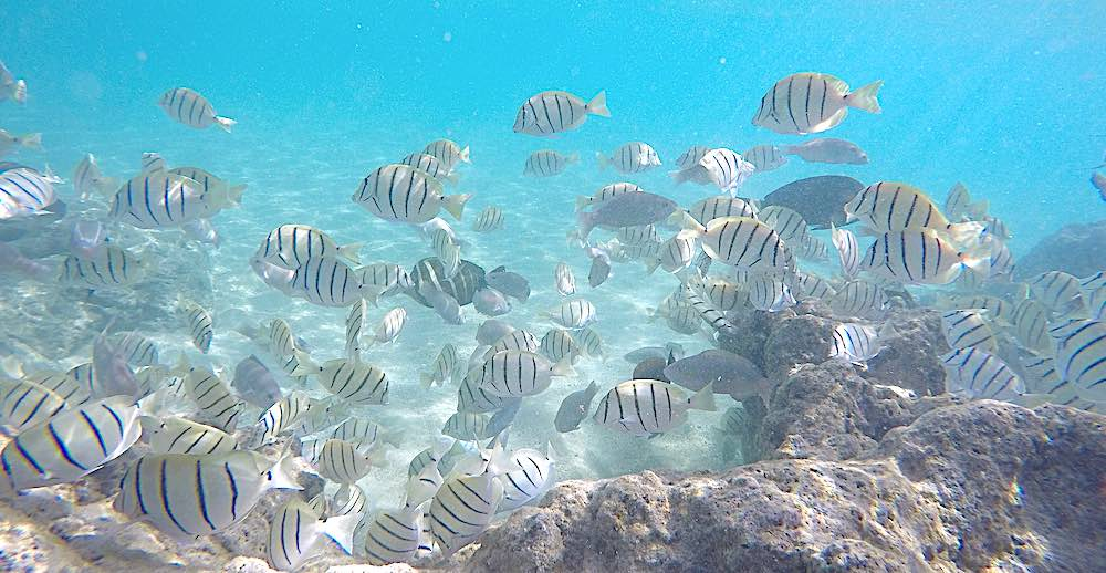 Striped fish at a coral reef in a bright blue ocean