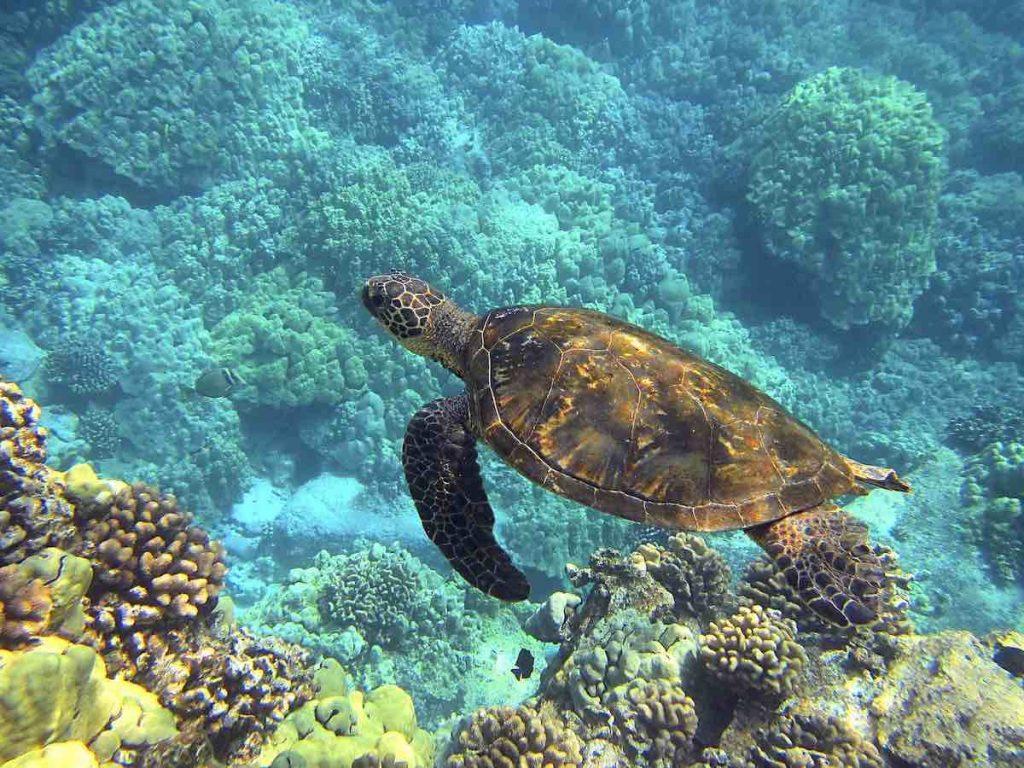 Honu or sea turtle swimming in the reef he calls home Hawaiian islands